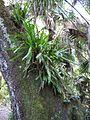 Campyloneurum phyllitidis 001 by Scott Zona.jpg