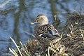 Canard colvert (Anas platyrhynchos) - 5988.jpg