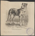 Canis familiaris danicus - 1700-1880 - Print - Iconographia Zoologica - Special Collections University of Amsterdam - UBA01 IZ22300063.tif