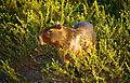 Capybara (Hydrochoerus hydrochaeris) (10533154623).jpg
