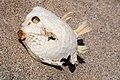 Carapace of dead Humpback boxfish (Anoplocapros lenticularis) - Flinders Chase National Park - Kangaroo Island, South Australia - 3 Nov. 2012 - (1).jpg