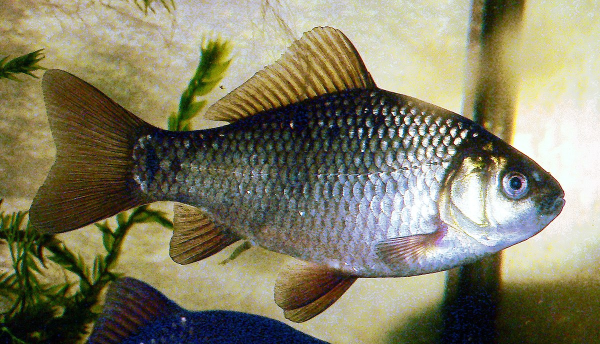 How to catch a crucian carp on a float rod - advice from anglers 59