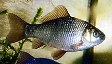 A golden colored fish with silvery highlights, facing right