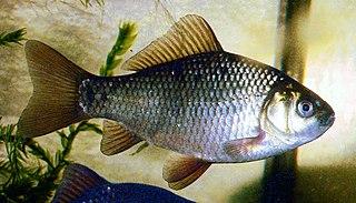 <i>Carassius</i> genus of fishes
