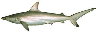 Australian blacktip shark species of fish