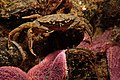 Carcinus maenas (Strandkrabbe, shore crab) (28179285974).jpg