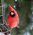 Cardinal 1 (5335754956).jpg