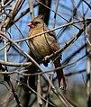Cardinalis cardinalis - Pinckney Island.jpg