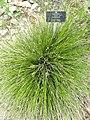 Carex davalliana - Botanischer Garten Freiburg - DSC06453.jpg