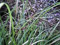 Carex dissita 11.JPG