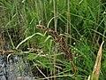 Carex paniculata habitus.jpeg