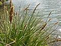 Carex paniculata plant (08).jpg