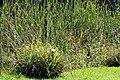Carex pendula plant (40).jpg