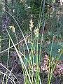 Carex pseudobrizoides1.JPG