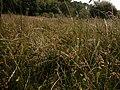 Carex pseudobrizoides plant (7).jpg