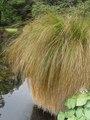 Carex secta.tif