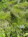 Carex tenera - Botanical Garden, University of Frankfurt - DSC02544.JPG