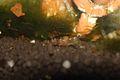 Caridina breviata-female with eggs.jpg