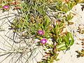 Carpobrotus glaucescens plant1 (8418466446).jpg