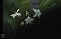 Casasia clusiaefolia. Little San Salvador. West (38839719282).jpg