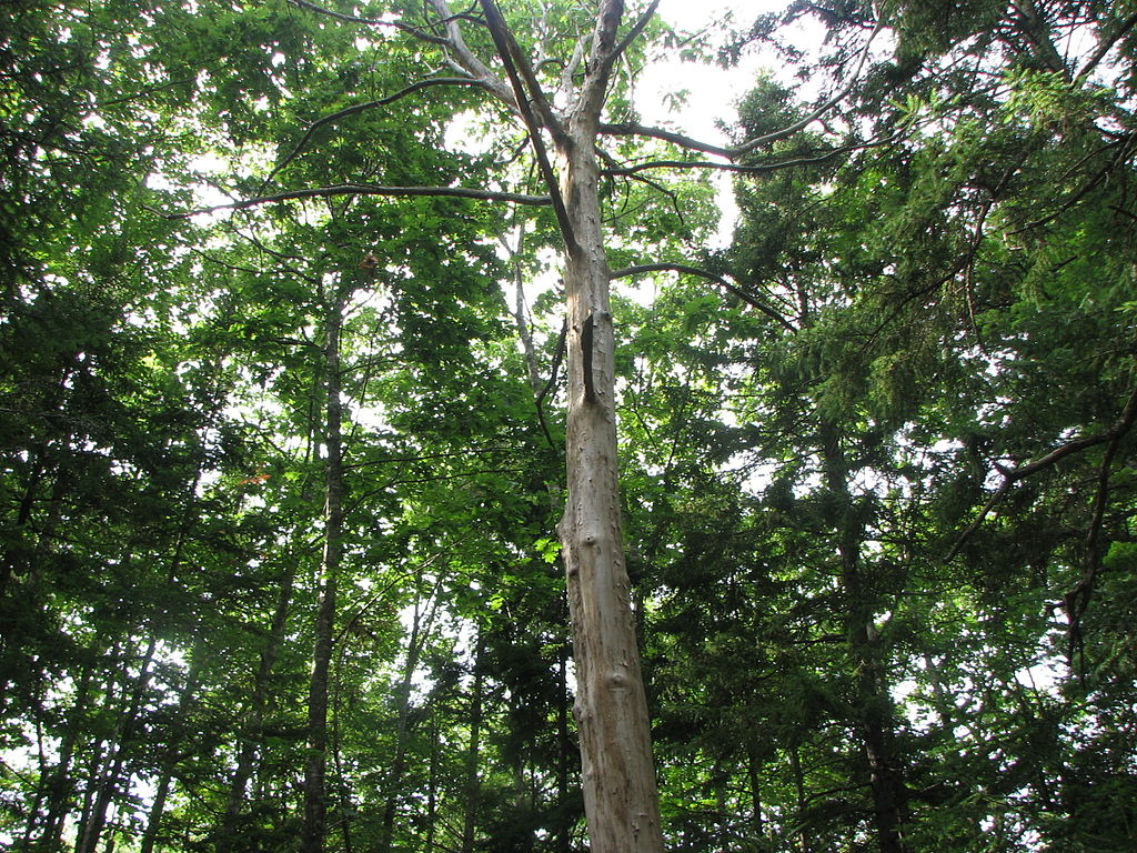 photo of an American chestnut tree