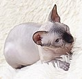 Cat - Sphynx. img 080.jpg