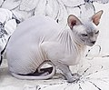 Cat - Sphynx. img 092.jpg