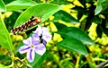Caterpillar story,nat.bota.garden Bangladesh.jpg