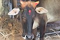 Cattle (Bos taurus) in morang district-2568.jpg