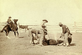 Cowboys branding a calf in fenced area. South ...