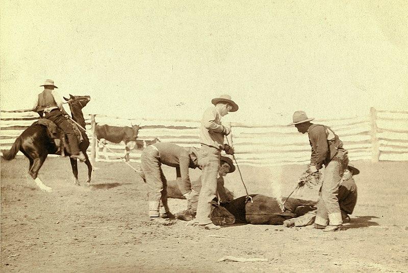 Cattle Branding