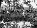 Cattle coming in to water from The Powerhouse Museum Collection.jpg