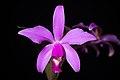 Cattleya violacea (Kunth) Lindl., Gard. Chron. 1842 472 (1842) (29029280518).jpg