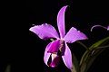 Cattleya violacea (Kunth) Lindl., Gard. Chron. 1842 472 (1842) (42000893155).jpg