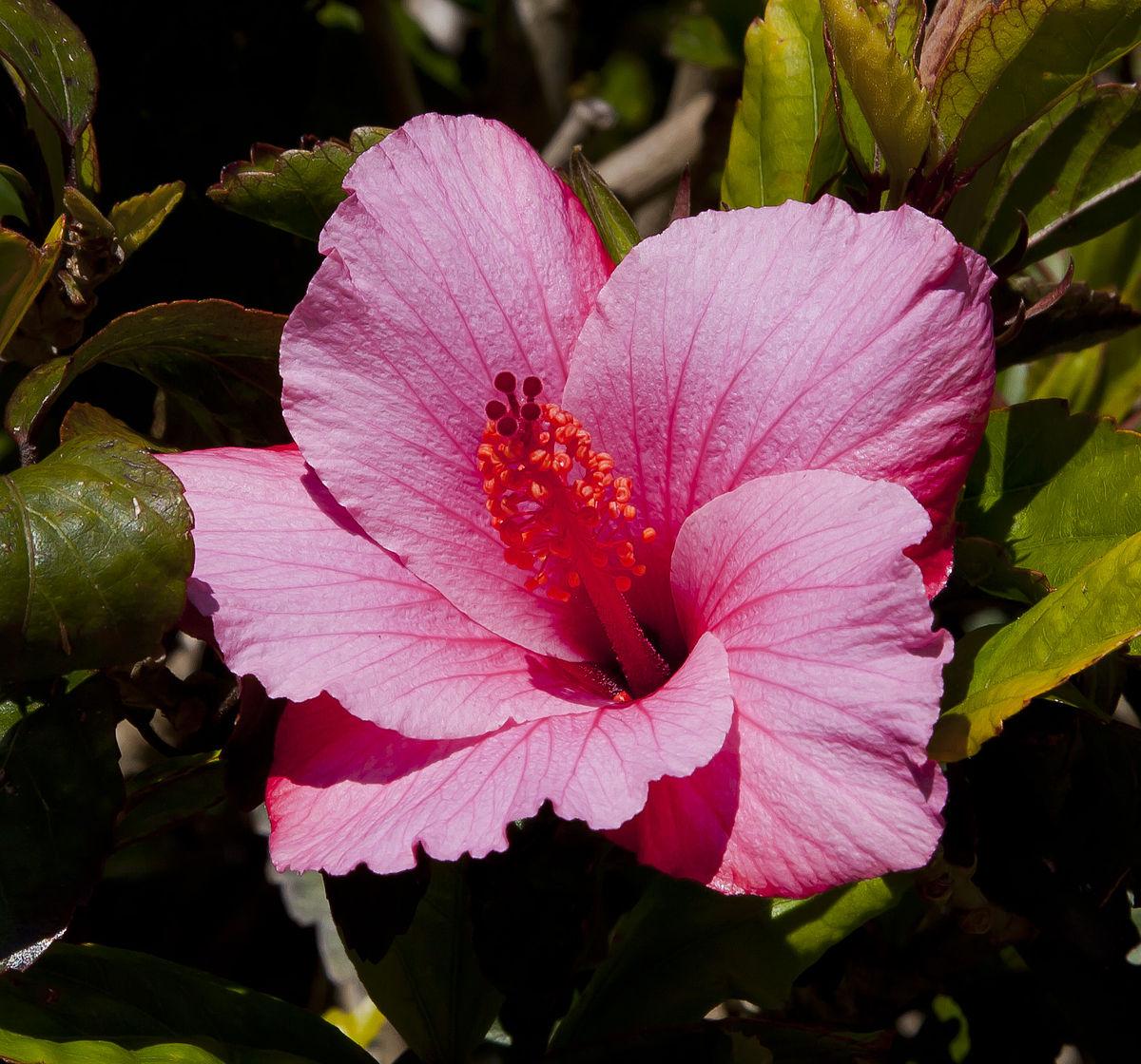 Hibiscus rosa sinensis wikipedia la enciclopedia libre for Hibiscus arbol