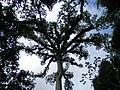 Ceiba, the Maya Tree of Life Laslovarga01.JPG