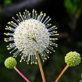 Cephalanthus occidentalis-Buttonbush.jpg