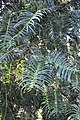 Cephalotaxus fortunei Chinese Plum Yew ფორჩუნის ცეფალოტაქსუსი.JPG