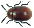 Ceralces affinis Weise (8273154552).png