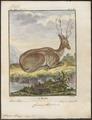 Cervus alces - 1700-1880 - Print - Iconographia Zoologica - Special Collections University of Amsterdam - UBA01 IZ21500096.tif
