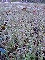 Cetraria islandica - Islandslav.jpg