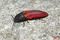 Cf. Ampedus sanguineus (NH266) (27770908594).jpg