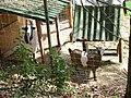 Chèvres (Capra aegagrus hircus) (02).jpg