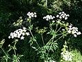 Chaerophyllum bulbosum sl28.jpg