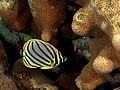 Chaetodon meyeri (Meyer's butterflyfish) juvenile.jpg