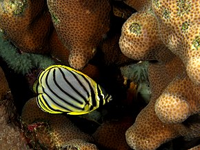 Description de l'image  Chaetodon meyeri (Meyer's butterflyfish) juvenile.jpg.
