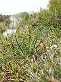 Chamorchis alpina 230705a.jpg
