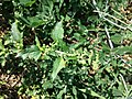 Chenopodium murale sl47.jpg
