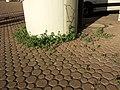 Chenopodium vulvaria sl31.jpg