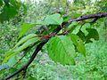 Cherry - leaf regeneration.jpg